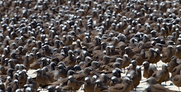 Lesser Black and Common Noddy at Ashmore 2012